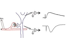 Electrophysiology - Image: Field potential schematic