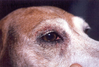 Dog skin disorders - Dog with atopic dermatitis, with signs around the eye created by rubbing.