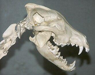 Canis - Eurasian wolf skull