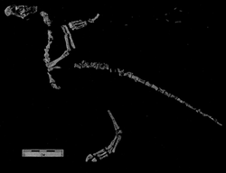 The fossil of a bird-like animal on a black background. A foot, tail, and upper body are present. The head has a large beak while the arm bones are folded over to look like a bird's wings.