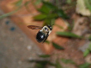 Eastern carpenter bee - The primary difference in the appearances of a bumblebee and X. virginica is the conspicuously shining black abdomen.
