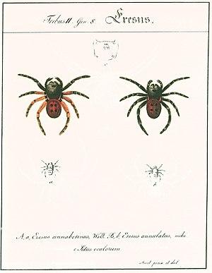 "Carl Wilhelm Hahn - ""Eresus cinnaberinus, Walk."" and ""Eresus annulatus, mihi"" sensu Hahn 1821, installment 2"