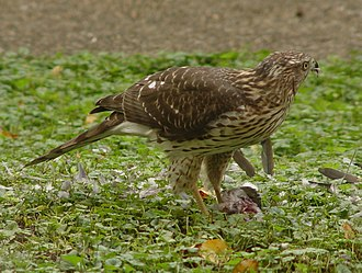 Hawk - Immature Northern goshawk with fresh meat.