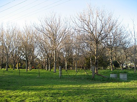 Orchard outside Tamworth during winter Tamworth orchard.jpg