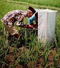 Farmers carrying out their own research into tungro disease on rice.