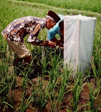 Participatory technology development - Indonesian farmers carrying out their own research into control of tungro disease on rice (Photo by FAO Community IPM Programme)
