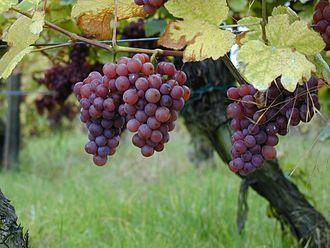 Gewürztraminer - Gewürztraminer vine and grapes