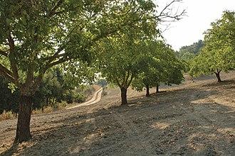 Adelaida Cellars - walnut trees on Viking Ranch