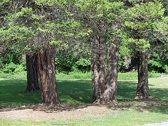 Chamaecyparis pisifera - Image: Grove of Sawara Cypress, Upton State Forest, MA