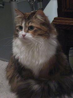 28 siberian ras kucing domestik dari rusia ras kucing i