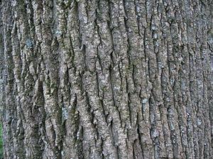 Liriodendron - Tulip tree bark