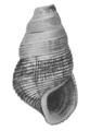 Tylomelania sarasinorum shell.png
