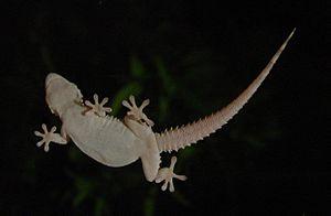 Gecko - Gecko on window pane