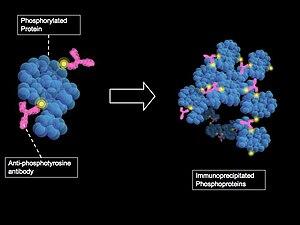 Phosphoproteomics - Method of phosphoprotein purification by immunoprecipitation with anti-phosohotyrosine antibodies