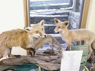 Howard County Conservancy - Image: Foxes, Howard County Conservancy
