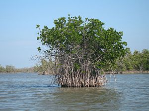 Rhizophora mangle - Image: Red mangrove everglades natl park