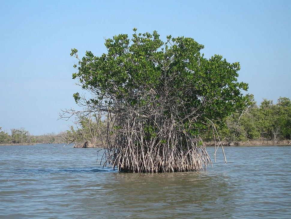 Red mangrove-everglades natl park