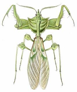 <i>Idolomantis diabolica</i> species of praying mantis