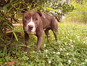 "This is a purebred APBT commonly known as a ""Blue Nose"" because of its blue-grey coat."
