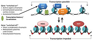 Chromatin remodeling - Chromatin remodeling complexes in the dynamic regulation of transcription: In the presence of acetylated histones (HAT mediated) and absence of methylase (HMT) activity, chromatin is loosely packaged. Additional nucleosome repositioning by chromatin remodeler complex, SWI/SNF opens up DNA region where transcription machineray proteins, like RNA Pol II, transcription factors and co-activators bind to turn on gene transcription. In the absence of SWI/SNF, nucleosomes can not move farther and remain tightly aligned to one another. Additional methylation by HMT and deacetylation by HDAC proteins condenses DNA around histones and thus, make DNA unavailable for binding by RNA Pol II and other activators, leading to gene silencing.