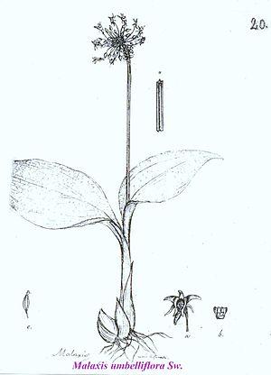 Olof Swartz - Dr. Olof Swartz: drawing of Malaxis umbelliflora
