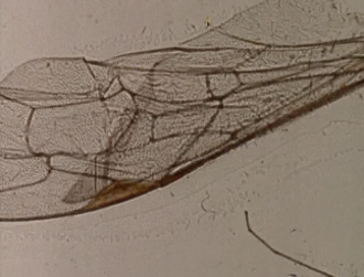 Mothlight - A still from Mothlight, showing the wing of an insect