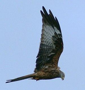 Red kite - Red kite, Black Mountains, Wales, 2009