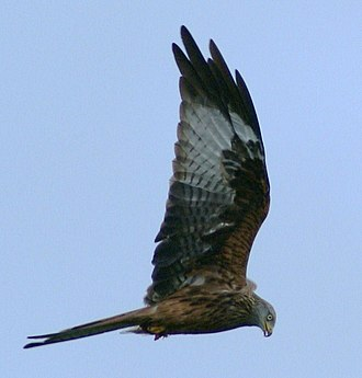 Red kite - Red kite, Black Mountains, Wales, 2009