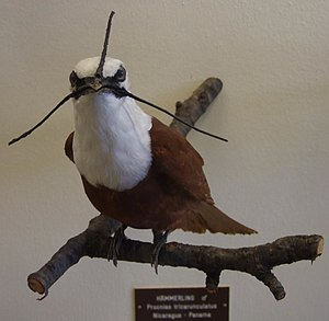 Taxidermied male specimen (in living individuals, the three elongated wattles typically hang loosely down beside the bill) Procnias tricarunculata.jpg