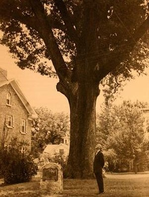 Andrews-Duncan House - The Henry Clay Oak in 1955.