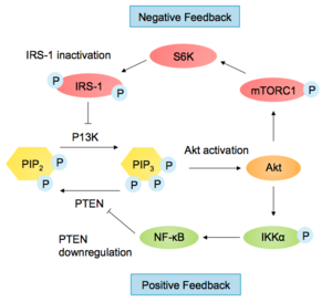 Akt/PKB signaling pathway - Examples of feedback control in the PI3K-Akt Pathway
