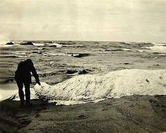 Trunko - One of four known photographs of the Trunko carcass, taken by A. C. Jones