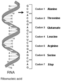 Schematic diagram of a single-stranded RNA mol...