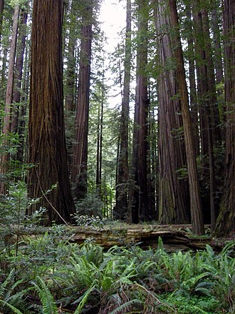 Humboldt County, California - Rockefeller Forest, the largest remaining old growth Redwood forest on earth, is located within Humboldt Redwoods State Park.