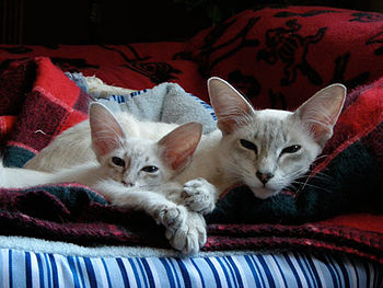 Blue Lynx Point Javanese Cats - Adult and Kitt...
