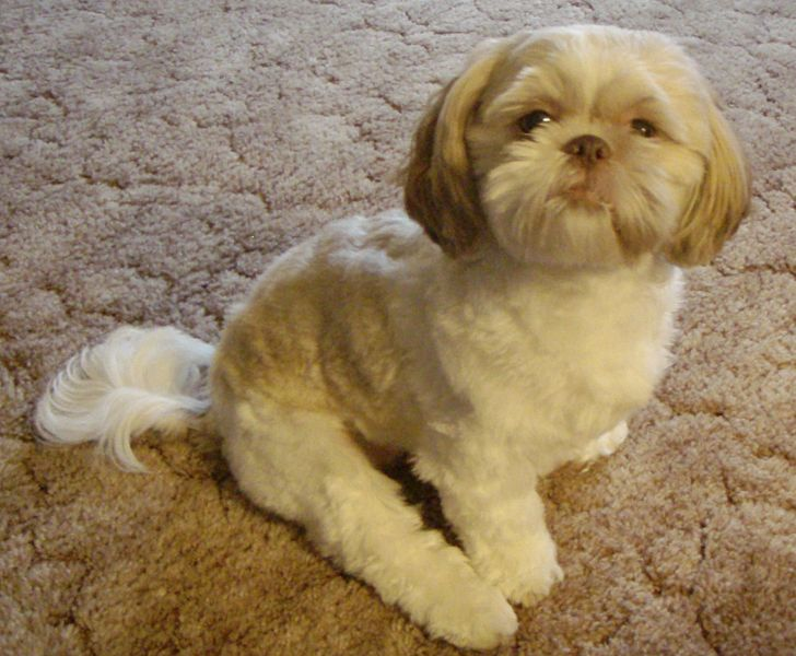 The 15 Most Interesting Facts About The Cute And Lovely Shih Tzu