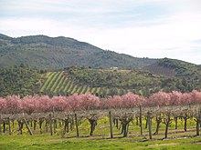 SPRING IN THE VINEYARDS.JPG