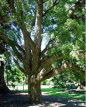 Quercus suber - Cork oak in Christchurch Botanic Gardens