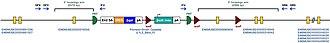 Tissue transglutaminase - Molecular structure of Tgm2 region with inserted mutation sequence