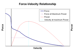 Force–velocity relationship of muscle contraction