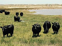 Hindmarsh Island-Introduced species-Wagyu Bulls on Hindmarsh Island