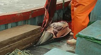 Dolphin drive hunting - Dusky dolphin being skinned on a boat in Peru.