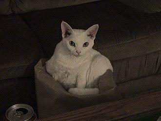 Devon Rex - Image: Playful Devon In Bag