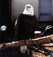 Bald Eagle at the St. Louis Zoo.