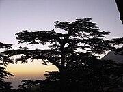 A cedar in Lebanon ארז הלבנון מלך העצים