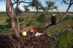 A nest with two adults