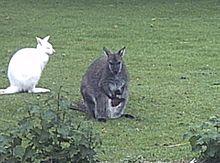 Wallaby Wikipedia