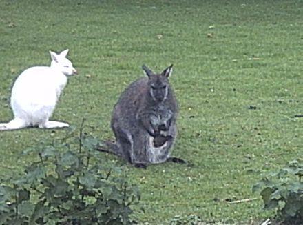Wallaby Wikiwand