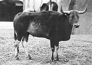 Kouprey - The young male kouprey at the Vincennes Zoo, Paris 1937 that was designated the holotype of the species. The horns are not yet fully developed.