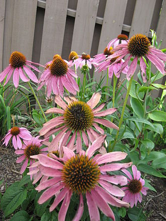 Echinacea purpurea - Plants raised outdoors